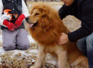 Собака с гривой льва до смерти напугала жителей Норфолка
