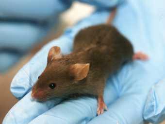 Американские мыши теперь не болеют раком