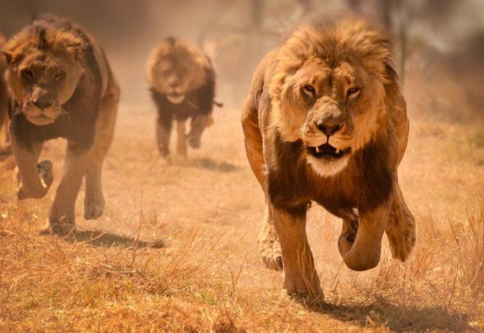 Список топ 10 лучших фильмов про львов